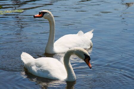 mated: pair of swans swimming together in pond Stock Photo