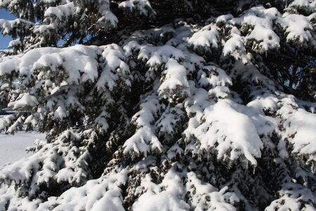 pine branches covered in snow Stok Fotoğraf