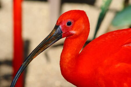 scarlet ibis, Eudociums rubber from South America, red plumage  photo