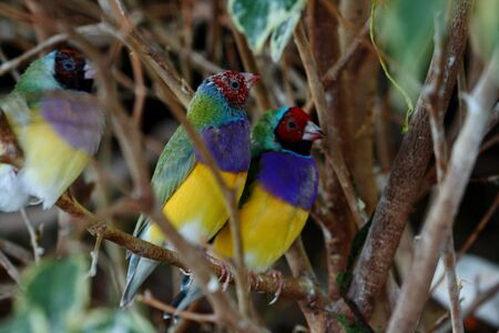 mated: Gouldian finch chloebia gouldiae from Australia
