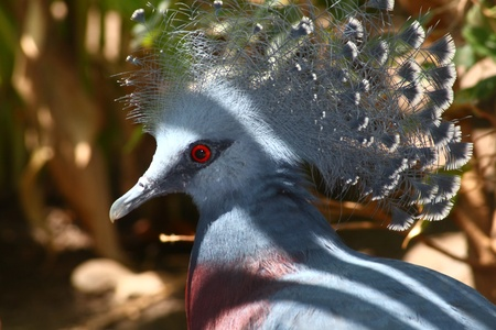 victoria crowned pigeon, Goura victoria, largest pigeon in the world from New Guinea Stock Photo - 13255074