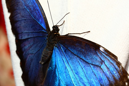 blue morpho, Morpho, peleides, butterfly photo