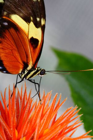 longwing: tiger longwing, Heliconius hecale, butterfly on flower eating nectar Stock Photo