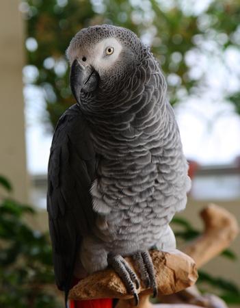 erithacus: african gray parrot, Psittacus erithacus