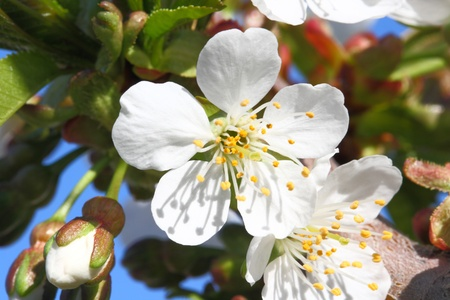 stamin: fruit tree blossoming in spring time with new growth Stock Photo