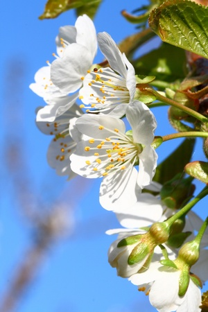 stamin: apple tree fruit blossoms in spring time new growth