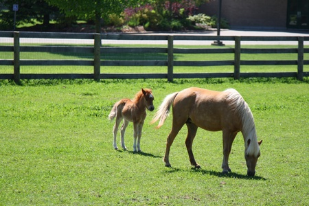 miniature horse mother and baby Stock Photo - 13313623