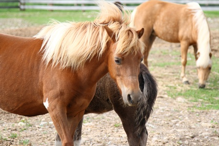 miniature horses photo