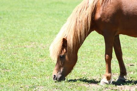 grazing miniature horse in field photo