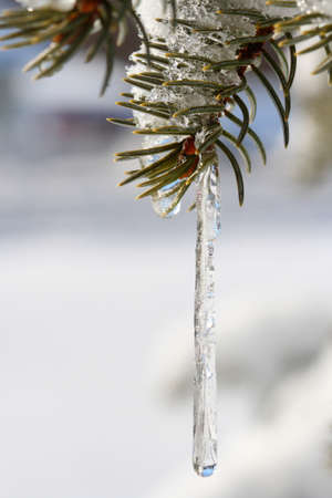 pine needles close up: pine needles close up with icicle hanging Stock Photo