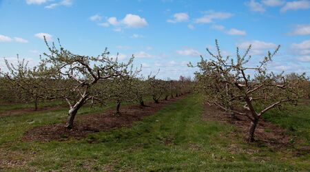 apple orchard in spring photo
