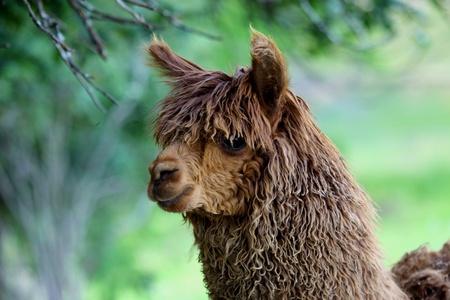 wool fiber: Vicugna pacos, alpaca o de llama, pero relacionado con valorados por su fibra de lana Foto de archivo