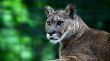 mountain lion, or cougar, Puma concolor