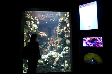 invertabrate: TORONTO- SEPTEMBER 15, 2014: Woman looks and admires the anemone wall display tank at Ripleys Aquarium in Torornto on September 15, 2014.