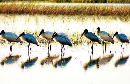 Wood Storks in the marsh, Skidaway Island Georgia Stock Photo