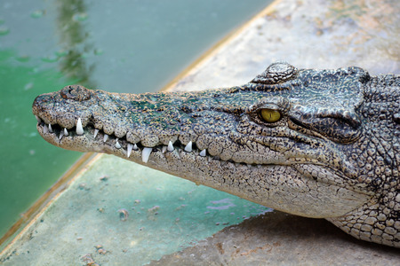 snapped: Close up head of crocodile Stock Photo