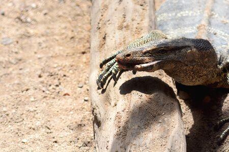 salvator: Varanus Salvator habitat, close up