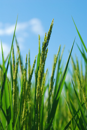 Close up ear of rice, close up ear of paddy, rice field with blue sky in background