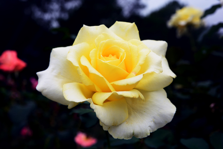 Beautiful pale yellow-white rose isolated on black background Фото со стока