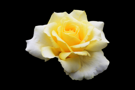 Beautiful pale yellow-white rose isolated on black background Stock Photo - 106680100