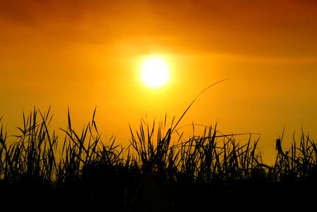 silhouette grass behind sunset
