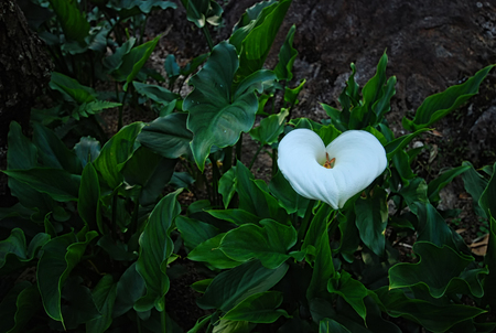 A white flower with heart shape among the green leaf in the garden