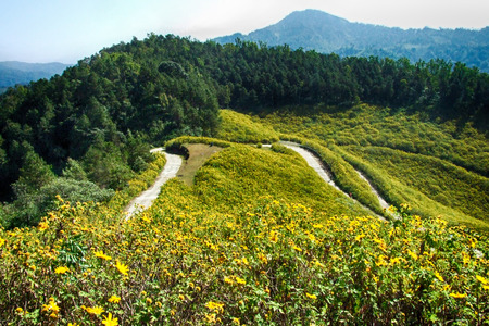 lots of of yellow flower named Bua tong in Mae Hong Sorn, Thailand