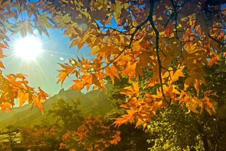 Yellow maple leaf  in autumn season in Seoul, South Korea