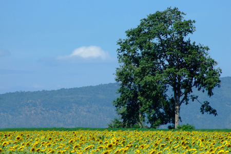 A big tree among the sunflower field with blue sky Stock fotó