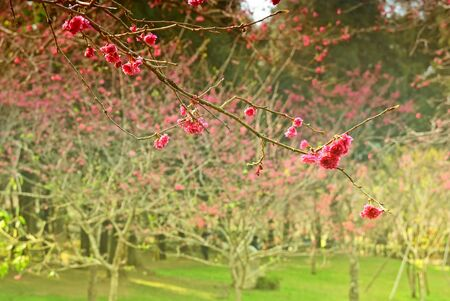 Pink cherry blossoms on the tree 스톡 콘텐츠