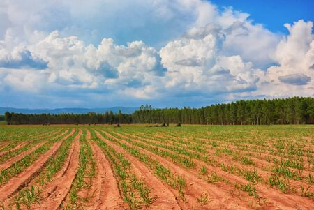 Green rice field or Land with corn planting with blue sky Thailand.
