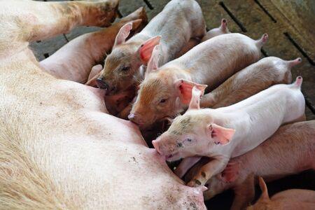 Mother pig Feeding Piglet little piglets on the farm Archivio Fotografico