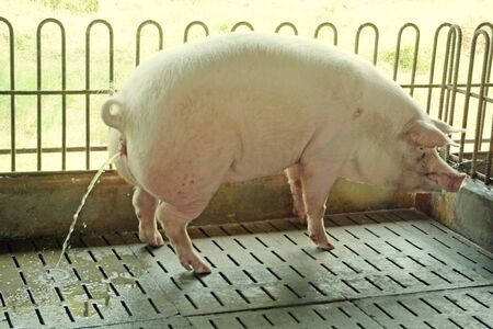 Pig peeing in the stall on farm. Stock Photo