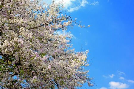 Pink Trumpet Tree,Tabebuia rosea,Cherry blossom or sakura flower like beside the road in Saraburi, Thailand