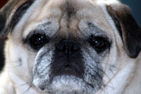 an image of a pug