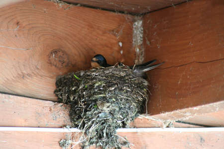 Barnswallow nest Stock Photo