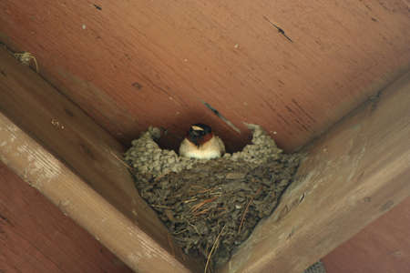 avian flu: an image of a Barnswallow nest