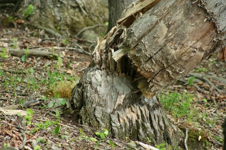 an image of a tree fallen by beavers photo