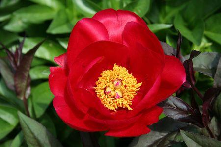 una imagen de una flor peonía Roja Foto de archivo - 952017