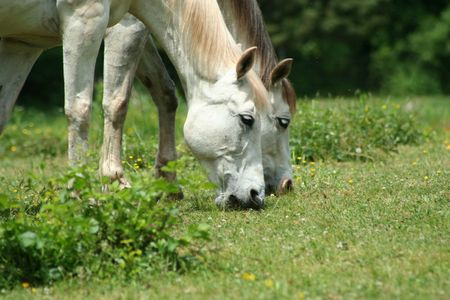 an image of two white horses photo