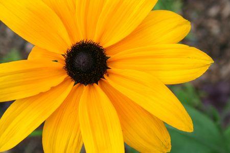 susan: black eyed susan flower