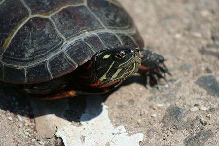 herpetology: an image of a Painted Turtle Stock Photo