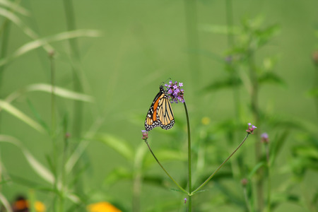 Orange Monarch Butterfly on a purple flower Stock Photo - 1416567