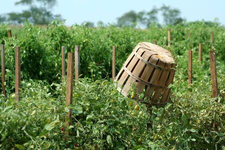 Hanging Tomatoe basket in the fields