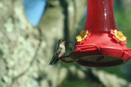 Female Ruby Throated Hummingbird    at a feeder Stock Photo - 1455572