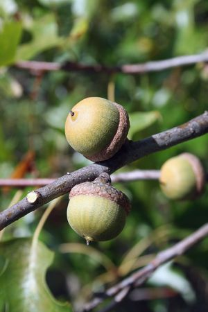 Acorns on the branch of an oak tree Stock Photo - 1835027