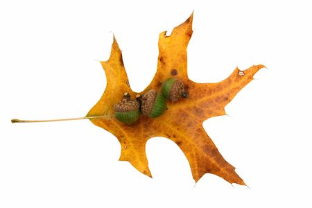 A Yellow oak leaf and acorns on white photo