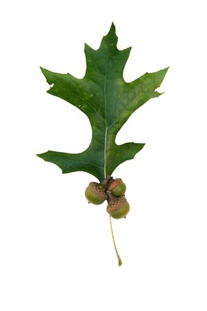 A green oak leaf and acorns on white photo