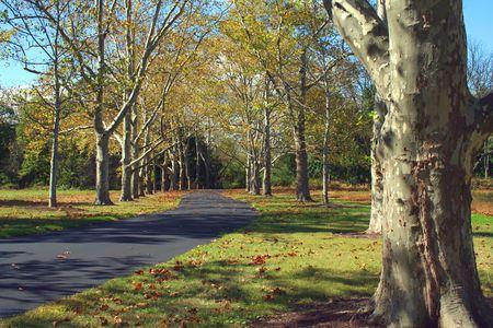 プラタナス: 秋のシカモアの木の並木道 写真素材
