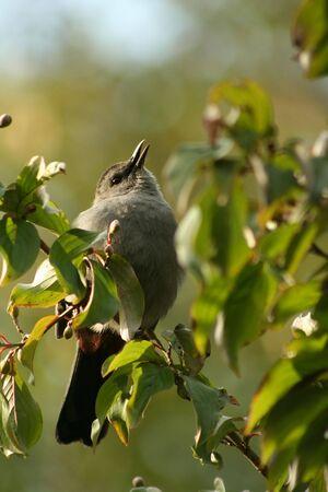 catbird: A Gray catbird sitting on a tree limb Stock Photo